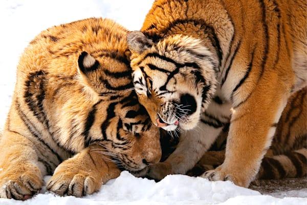 Tigers 069 Photography Art | Cheng Yan Studio