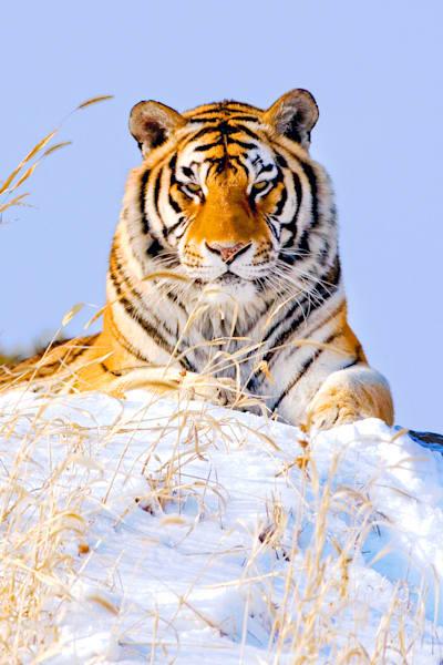 Tigers 073 Photography Art   Cheng Yan Studio