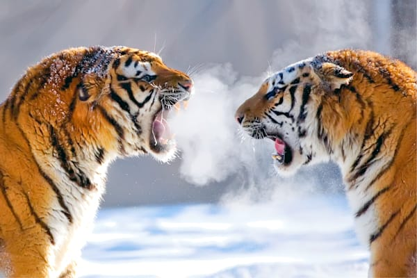 Tigers 076 Photography Art | Cheng Yan Studio