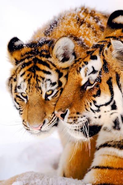 Tigers 075 Photography Art | Cheng Yan Studio