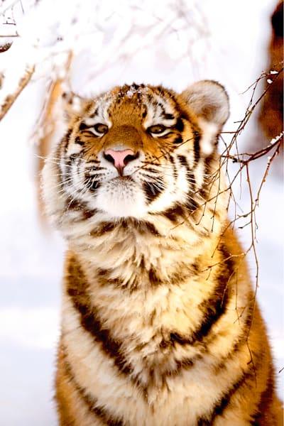 Tigers 074 Photography Art | Cheng Yan Studio