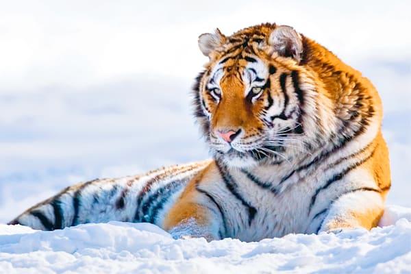Tigers 081 Photography Art | Cheng Yan Studio