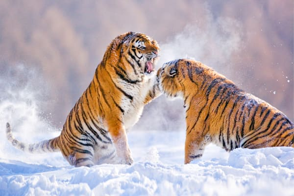 Tigers 080 Photography Art | Cheng Yan Studio