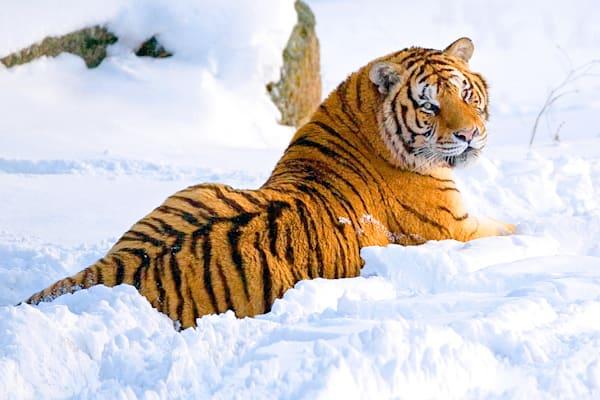 Tigers 090 Photography Art | Cheng Yan Studio