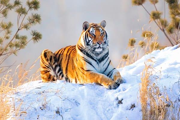 Tigers 092 Photography Art | Cheng Yan Studio