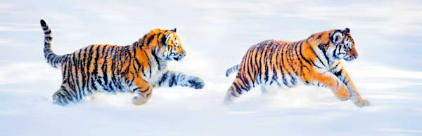Tigers 100 Photography Art | Cheng Yan Studio