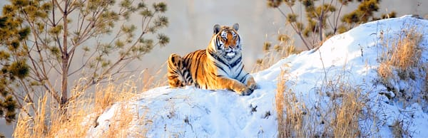 Tigers 104 Photography Art | Cheng Yan Studio