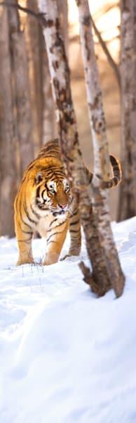 Tigers 110 Photography Art | Cheng Yan Studio