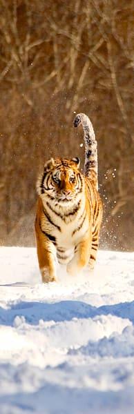 Tigers 107 Photography Art | Cheng Yan Studio