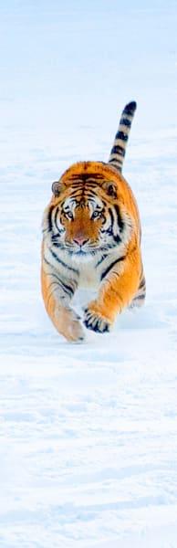Tigers 108 Photography Art | Cheng Yan Studio