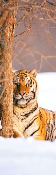 Tigers 106 Photography Art | Cheng Yan Studio