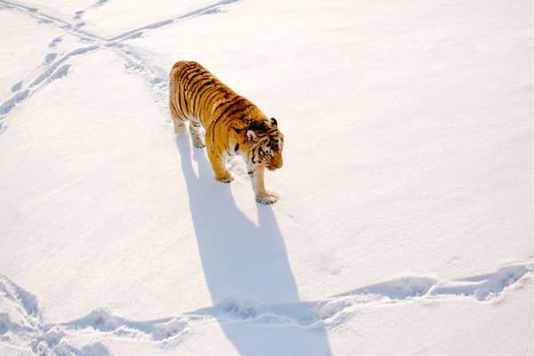 Tigers 111 Photography Art | Cheng Yan Studio