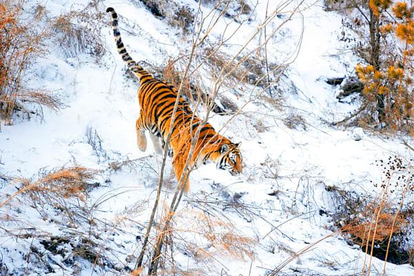 Tigers 112 Photography Art | Cheng Yan Studio