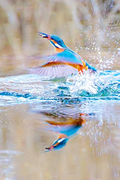 kingfishers-010