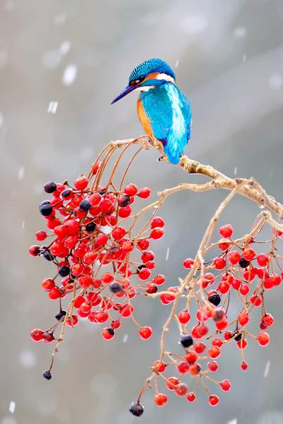 kingfishers-012