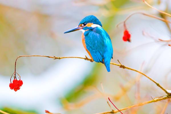 kingfishers-016