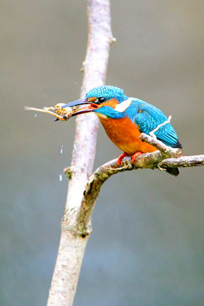 kingfishers-018