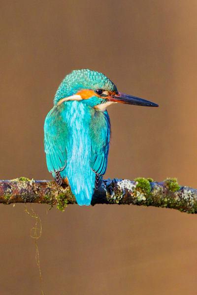 kingfishers-040