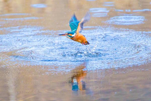 kingfishers-041
