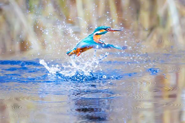 kingfishers-042