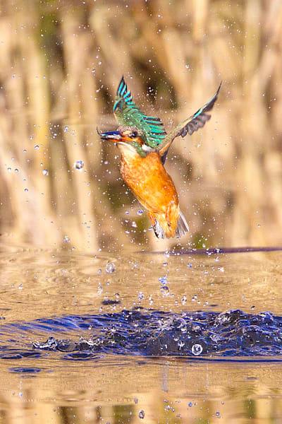 kingfishers-036