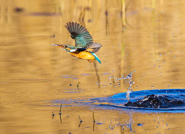 Kingfishers 043 Photography Art by www.chengyan.net