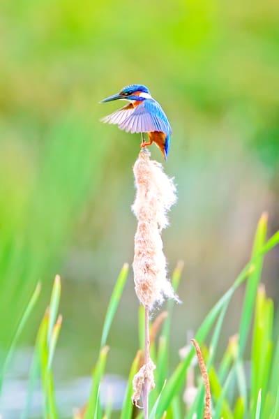 kingfishers-049