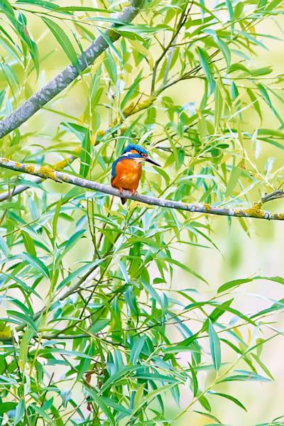 kingfishers-044