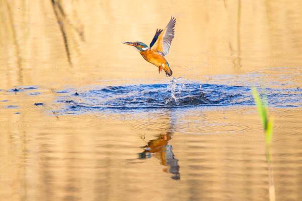 kingfishers-046