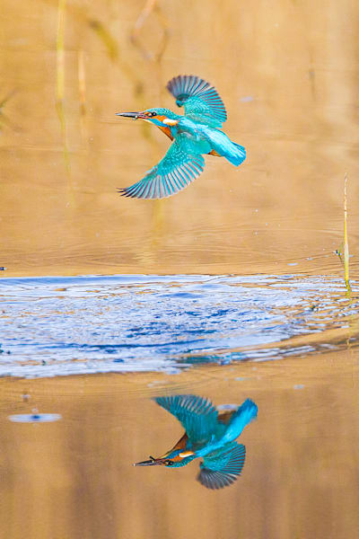 Kingfishers 047 Photography Art | Cheng Yan Studio