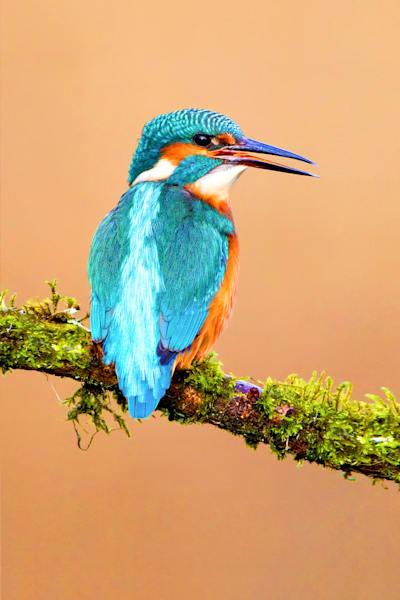Kingfishers 052 Photography Art | Cheng Yan Studio