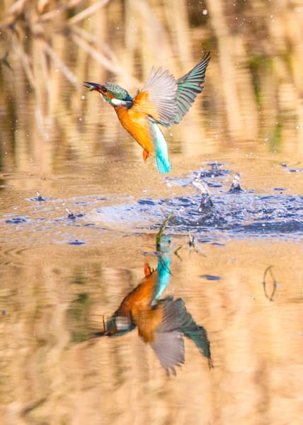 Kingfishers 051 Photography Art by www.chengyan.net