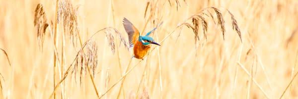 Kingfishers 061 Photography Art | Cheng Yan Studio