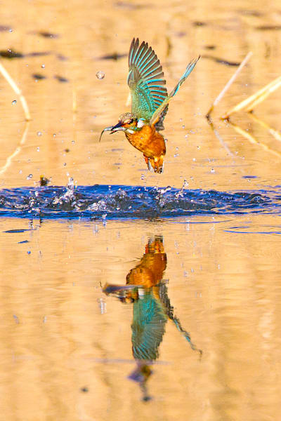 Kingfishers 053 Photography Art by www.chengyan.net