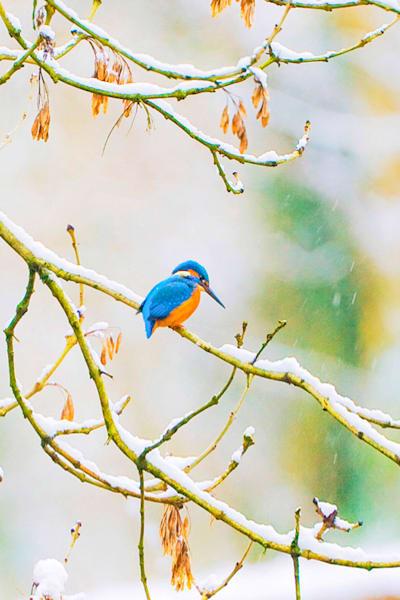 Kingfishers 068 Photography Art | Cheng Yan Studio