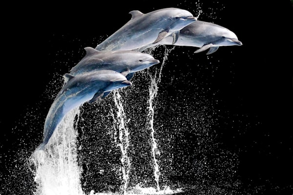 Dolphins 002 Photography Art | Cheng Yan Studio