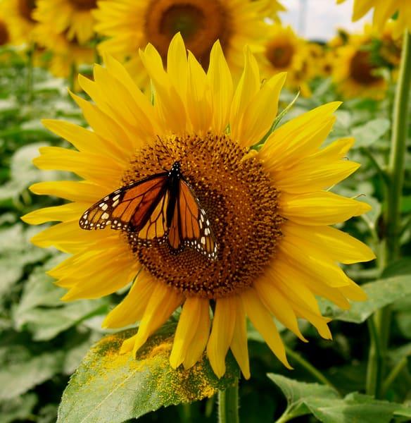 Butterfly and Pollen--near Marquette, Kansas