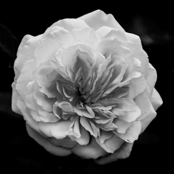 Alchymist Rose Limited Edition Signed Fine Art Nature Photograph by Melissa Fague