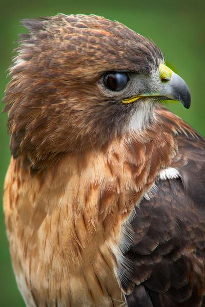 Red Shouldered Hawk  Close Up|Wall Decor fleblanc