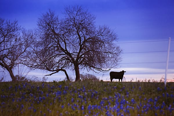 Blue sunset in a field of bluebonnets with a silloette of a cow.