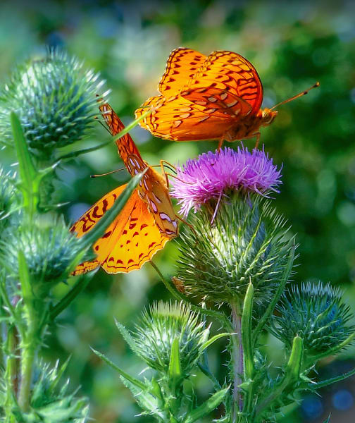 Butterflies Thistle Blooming Flora Flowers
