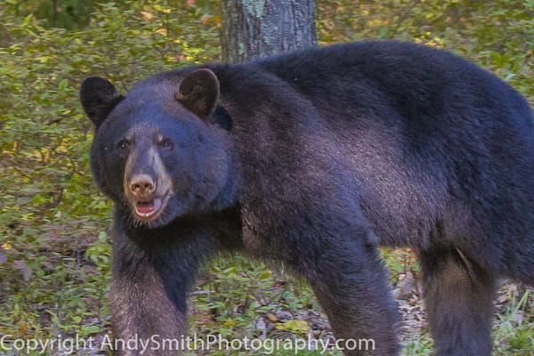 American Black Bear fine art photograph