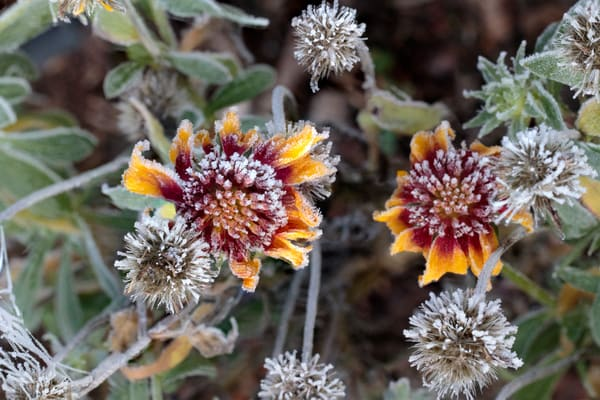 advection frost, cone flower