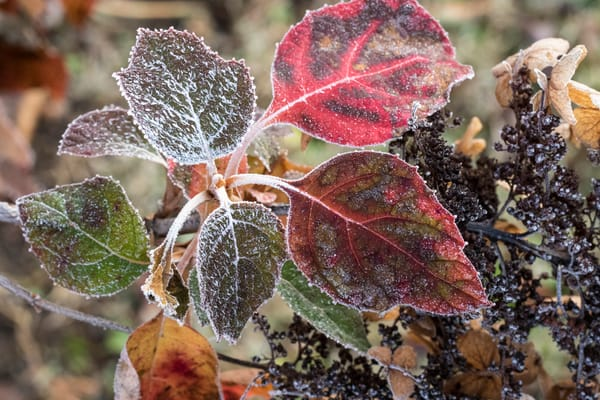 oak leaf hydrangea,fall,frost