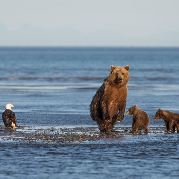 Alaska, coastal brown bears, standing bear, bald eagle
