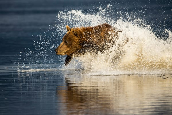 bear running in water, Alaska,