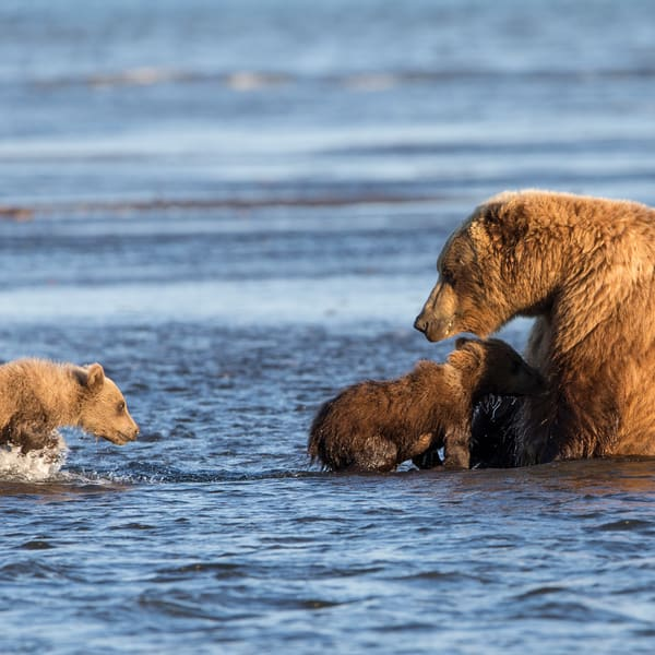 brown bear cubs, nursing, Alaska, Silver Salmon Creek