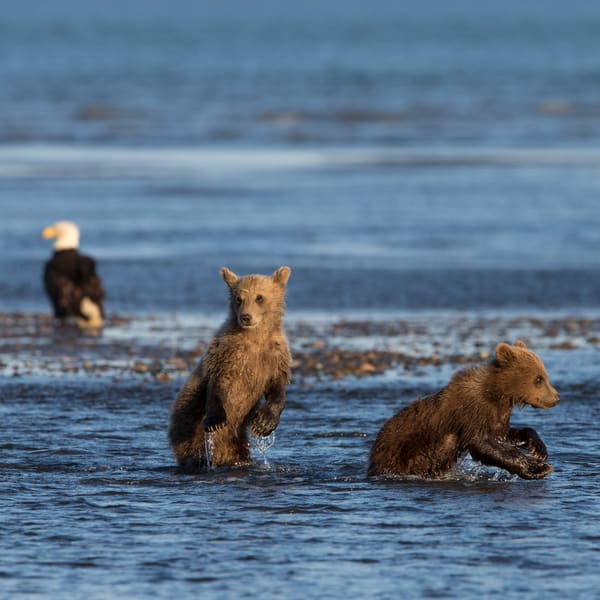 Brown bear cubs, bald eagle, Alaska