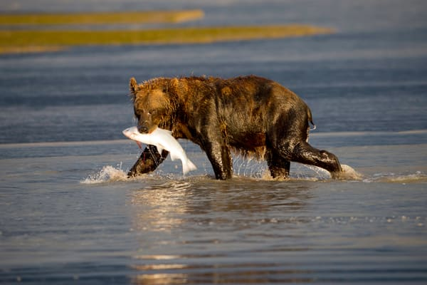 bear catching salmon, Alaska, brown bears