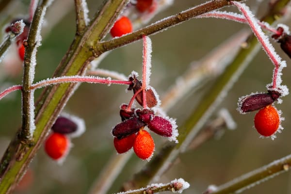 frost, advection, burning bush berries